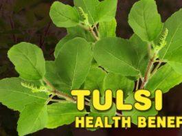 queen of herbs - Tulsi Health Benefits Daily Bees